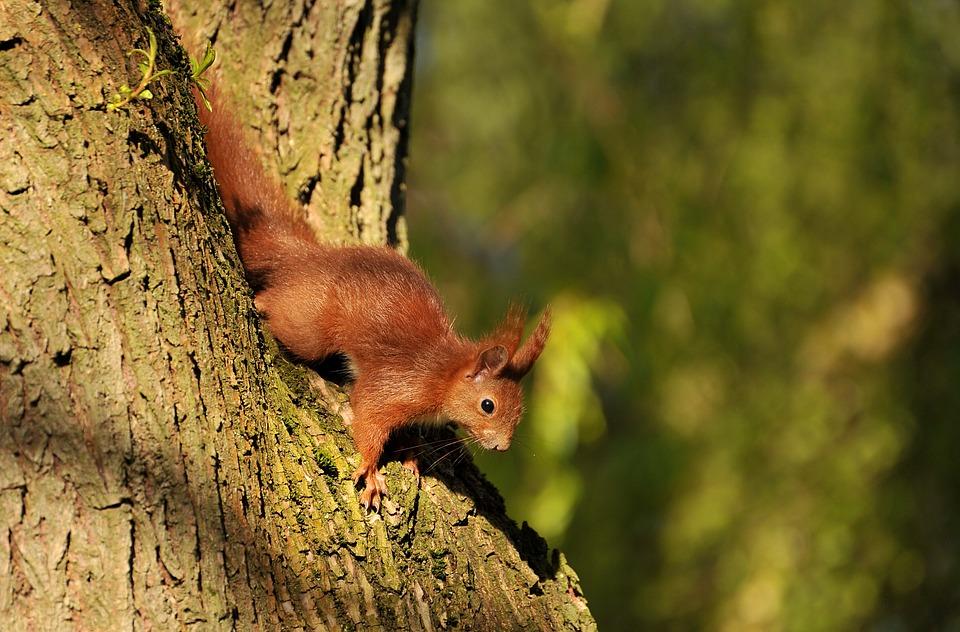 Eekhoorns op de Veluwe